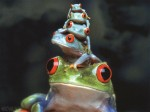 fond-ecran-grenouilles.jpg