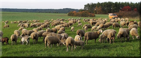 2019-01-01-Moutons-dans-la-prairie.jpg